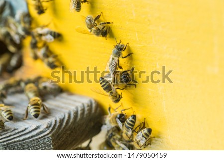 From beehive entrancebees creep out. Honey-bee colony guards the hive from looting honeydew. The bees return to the beehive after the honeyflow. Bee-guard in the beehive entrance. Swarm hived readily Сток-фото ©