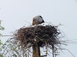 From below of adult Stork with white feathers resting in big round nest constructed of dry leafless bars against clear sky in daytime