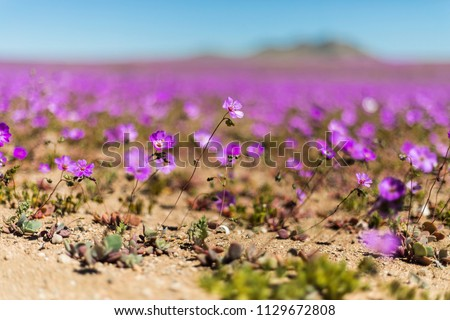 From time to time rain comes to Atacama Desert, when that happens thousands of flowers grow along the desert from seeds that are from hundreds of years ago, amazing the \