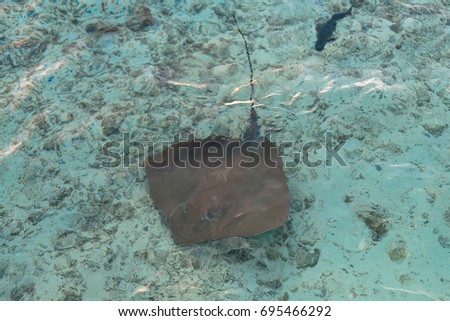 From top picture of Stingray with one barbed stingers on the tail in Maldives clear water.