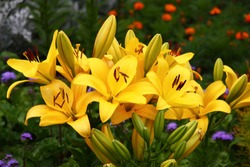 From various flowers in a flower bed the bright spot distinguishes the lily which is plentifully blossoming in yellow flowers.