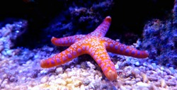 Fromia Monilis starfish