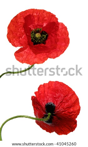 front and back view of a bright poppy flower isolated on white - stock photo