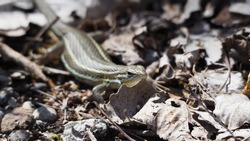 front and side view of a brown toned vertical striped reptile on a footpath, four legs with five fingers, prominent eyes, lerida, spain, europe