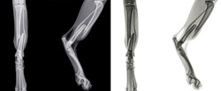 Front and side view X ray of the hind leg of a cat with a fracture of the calf bone (fibula). Isolated on black (left) and white (right)