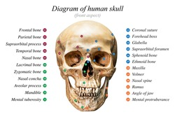 Front aspect of human skull diagram on white background for basic medical education
