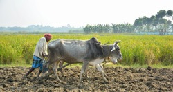 Front close up view of two oxen and the farmer, cultivator ploughing or plowing his land with the plow, plough and in background is ripe rice paddy