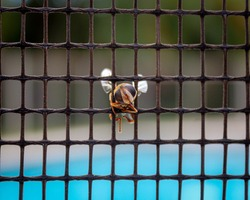 Front Face view of a perfectly preserved Hover Fly stuck hanging around in between the wire mesh of a pool fence