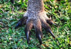 Front foot of an eastern grey kangaroo (Macropus giganteus) in New South Wales, Australia.