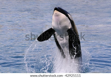 Front killer whale (Orcinus orca) jumping out of  blue water