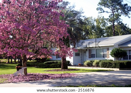Front of a white ranch-style house with a Pink Tabebuia tree in full bloom, Orlando, Florida PHOTO ID: House00003a - stock photo
