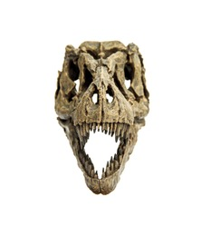 Front of Fossil Bone Skull and Jaws of Tyrannosaurus rex ( T-rex ). isolated on white background.