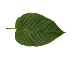 front of the kratom leaf (Mitragyna speciosa) on white blackground, Drugs and Narcotics