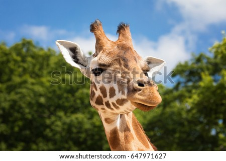 Front on view of a giraffe against green foliage and blue sky background.  #647971627