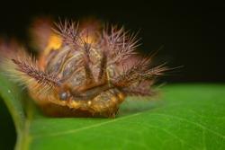 front part of a stinging nettle slug caterpillar