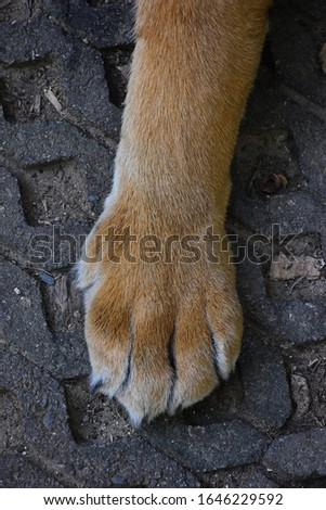 Front paws of the tiger