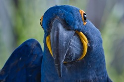 FRONT PORTRAIT SHOT OF A BLUE MCCAW WITH A DISTINCT YELLOW AND BLACK EYE