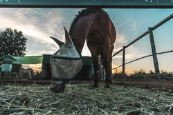 Front shot of a pretty  brown male horse with a mosquito net mask eating straw in a horse stable of a riding center with a horse partner by its side during magic hour moment with amazing sky