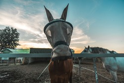 Front shot of a pretty  brown male horse with a mosquito net mask in a horse stable of a riding center with a horse partner by its side during magic hour moment of dawn or sunset with amazing sky