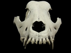 Front shot of the animal skull with preserved teeth in upper jaw