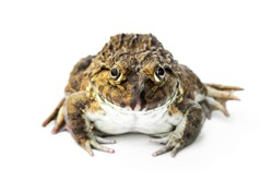Front The smiling face of Chinese edible frog, East Asian bullfrog, Taiwanese frog (Hoplobatrachus rugulosus) isolated on white background.