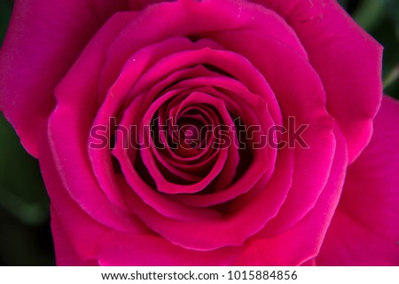 front top photography of a beautiful natural hot pink fuchsia rose  #1015884856