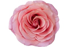 front top photography of a beautiful pink rose on a white background