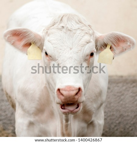 Front view animal portrait of mooing white cow, ox or bullock, cattle breeding concept.