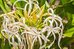 front view, close distance of tree cranium flower in full bloom in a tropical field