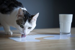 front view closeup of white cat licking milk spilled in a puddle from a glass on a wooden table