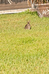 front view, far distance of a rabbit eating grass in early morning light of a tropical, residential home
