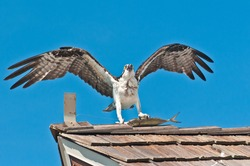front view, far distance of an osprey landing on a wood shingled roof with a fish dinner in it's claws