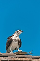 front view, far distance of an osprey, standing on a wood, shingled, roof with a fish dinner in it's claws