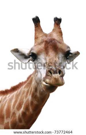 front view giraffe face isolated on white background