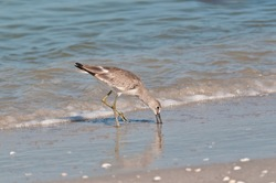 front view, medium distance of a Marbled godwit sea bird pecking into tropical shoreline sand to find small clams, on gulf of Mexico, sunny day