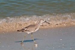 front view, medium distance of a Marbled godwit sea bird walking tropical shoreline on gulf of Mexico, sunny day