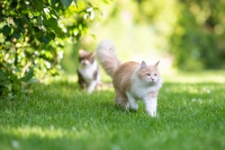 front view of a beige white maine coon cat with fluffy tail walking away from tabby british shorthair cat in the back yard on a sunny day