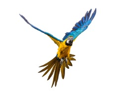Front view of a blue-and-yellow macaw, Ara ararauna, flying, isolated