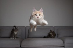 front view of a cream colored maine coon cat jumping over the couch in front of two other cats