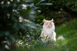 front view of a cream tabby maine coon cat sitting in the garden looking at camera surrounded by plants