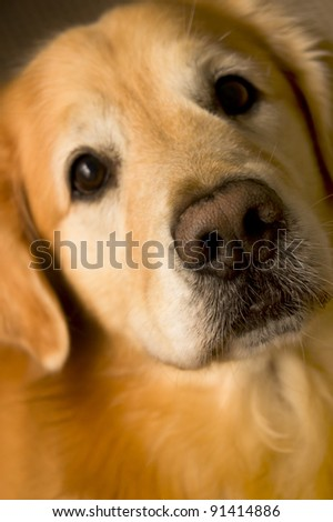 front view of a Golden Retriever looking curious