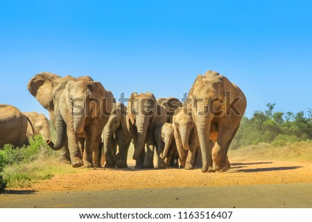Front view of a group of adults with small African elephants walking on a dirt road in Addo Elephant National Park, Eastern Cape, near Port Elizabeth in South Africa. Summer season. Blue sky.