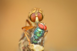 front view of a robber fly Asilidae prey on a blue bottle fly