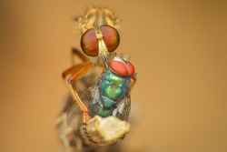 front view of a robber fly Asilidae prey on a small fly