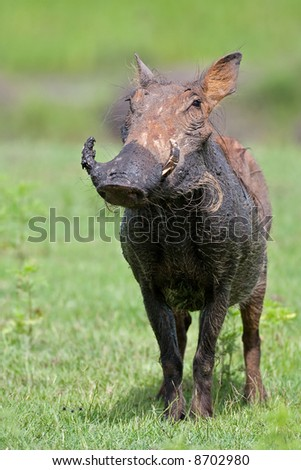 Front view of a warthog standing on green grass after a mud bath; Phacochoerus aethioplus; South Africa