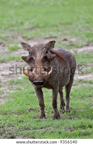 Front view of a warthog standing on green grass; Phacochoerus aethioplus; South Africa
