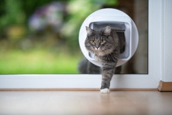 front view of a young blue tabby maine coon cat coming home from outdoors passing through cat flap in window