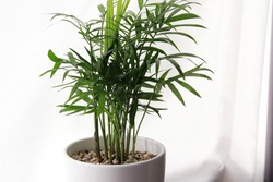 Front view of above a beautiful green palm plant on a white desk table. Looks really fresh and vibrant. Areca palm plant in a light stylish room. Nice home decoration. With white curtain background