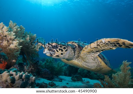 Front view of an adult male Hawksbill turtle (eretmochelys imbricata), endangered. Red Sea, Egypt. Red Sea, Egypt.