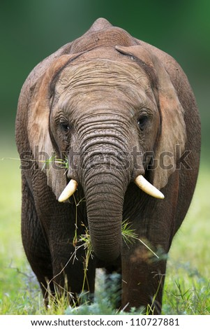 Front view of an elephant eating grass - Addo National Park